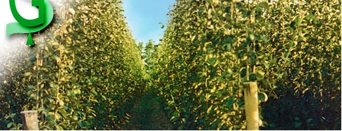 Vivai piante da frutto a rovigo for Vivai piante da frutto